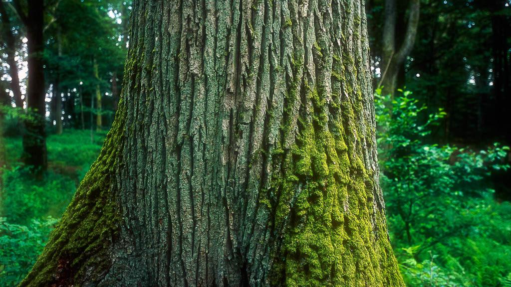 Trädstam med mossa.